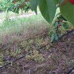prace gruntowe w sadzie czeresni